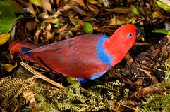 Red Lory Parrot. A red parrot foraging amongst the undergrowth for food royalty free stock photo