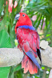 Red Lory Parrot in nature surrounding Stock Photo