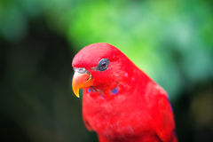 Red Lory Royalty Free Stock Photos