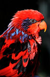 Red Lory Profile Royalty Free Stock Image