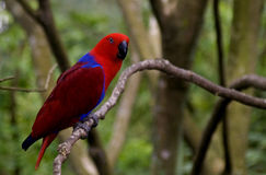 Red lory, Singapore Stock Photos