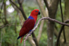 Red lory, Singapore Stock Photography