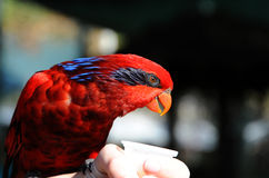Red Lory with Sweet Nectar Stock Photo