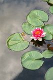 Red Lotus. Lotus with reflecting clouds Stock Image