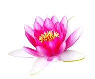 Red Lotus. Lotus red isolated on white background Stock Photos