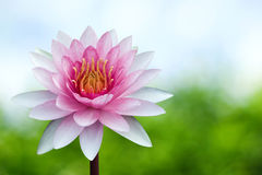 Red lotus Royalty Free Stock Photos