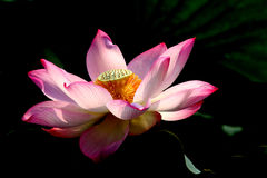 The red Lotus Stock Image