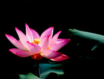 The red Lotus Royalty Free Stock Photography