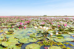Red lotus field lake in udonthani of thailand. Red lotus field lake in harn kumphawapi,udonthani of thailand royalty free stock photos