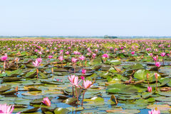 Red lotus field lake in udonthani of thailand. Red lotus field lake in harn kumphawapi,udonthani of thailand royalty free stock image