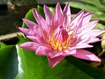 Red Lotus flower Royalty Free Stock Image