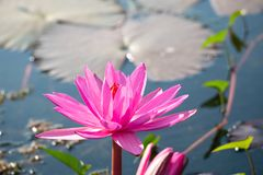 Red lotus flower blooming in canal. On the morning stock photography