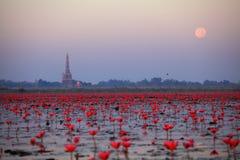 Bua daeng. Red lotus in Kumphawapi Udonthani. look like sea of lotus royalty free stock image