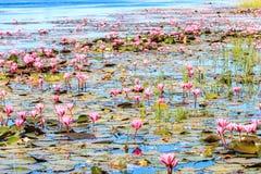 Red lotus at lagoons Royalty Free Stock Photos
