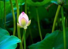 Red lotus Stock Photo