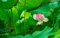 Red lotus Stock Photo