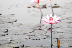 Red Lotus in the Lake Stock Photo