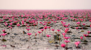 Red lotus pond. Red lotus in big pond at Kumpawapee, Udornthani, Thailand Stock Photo