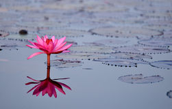 Red lotus pond. Red lotus in the pond at Kumpawapee, Udornthani, Thailand Stock Photo