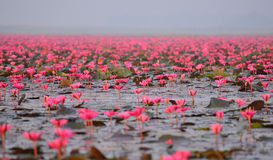 Red lotus pond. Red lotus in the pond at Kumpawapee, Udornthani, Thailand Stock Photography