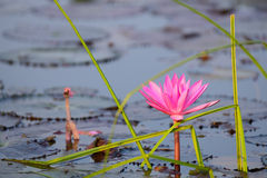 Red lotus. In the pond at Kumpawapee, Udornthani, Thailand Stock Image