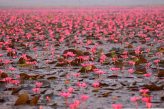 Red lotus pond. Red lotus in the pond at Kumpawapee, Udornthani, Thailand Royalty Free Stock Photography