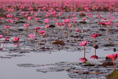 Red lotus pond. Red lotus in the pond at Kumpawapee, Udornthani, Thailand Royalty Free Stock Images
