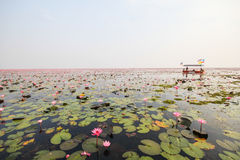 Red lotus in the pond at Kumphawapi, Udonthani, Thailand Royalty Free Stock Images