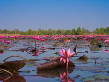 Red Lotus Sea Stock Photography