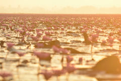 Red lotus sea in morning. Sunrise at red lotus sea Stock Photo