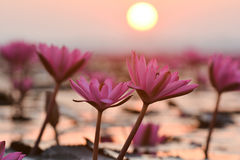 Red lotus sea. Sunrise at red lotus sea Stock Photography