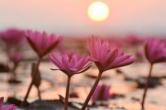 Red lotus sea. Stock Photos