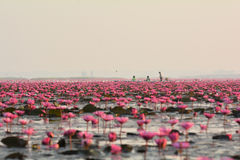 Red lotus sea. Tourists are taking a boat ride in red lotus sea Udon Thani,Thailad in the morning Stock Images