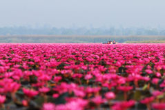 Red lotus sea. Tourists are taking a boat ride in red lotus sea Udon Thani,Thailand in the morning Royalty Free Stock Photography
