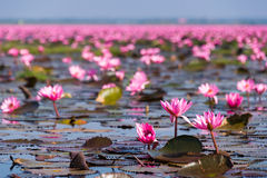 Red Lotus Sea at Udon Thani Stock Photo
