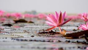 Red lotus in the swamp