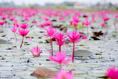 Red lotus. In udon thani Stock Photo
