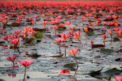 Red lotus in Udon Thani Province Stock Photography