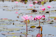 Red lotus in Udon Thani, Thailand. In Northeast Thailand, we came across an otherworldly attraction that combined the beauty of a tropical flower garden and the Stock Photography