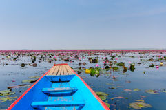 Red lotus in Udon Thani, Thailand. In Northeast Thailand, we came across an otherworldly attraction that combined the beauty of a tropical flower garden and the Royalty Free Stock Images