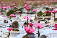 Red lotus. Red waterlily plant is traveling location in thailand and unseen location for travel Stock Photo