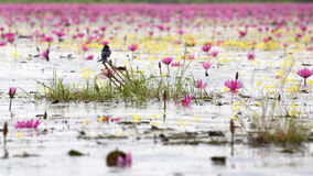 Red lotus. Red waterlily plant is traveling location in thailand and unseen location for travel Stock Image