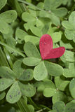 Red love heart of clover. Red love heart on background of green clover leaves royalty free stock image