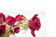Red love roses flowers bouquet close up on a white background Royalty Free Stock Photos