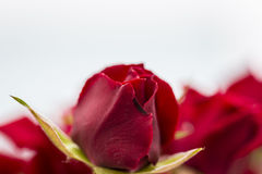 Red love roses flowers bouquet close up on a white background Royalty Free Stock Photography