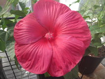 RED LUNA HIBISCUS FLOWER. THIS IS A RED DINNERPLATE FAMILY HIBISCUS FLOWER Royalty Free Stock Image