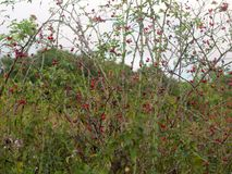 Red lush ripe rose hips on the vine outside wild forage Stock Image