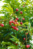 Red Lychee plant on the green tree Royalty Free Stock Images
