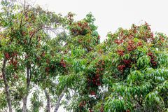 Red Lychees on the branch in Summer stock images