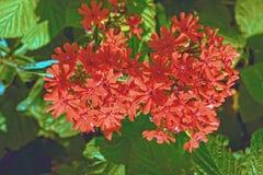 Red Lychnis chalcedonica flower. In the garden Stock Image